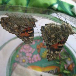 Insect Lore Butterfly Garden , butterflies in net